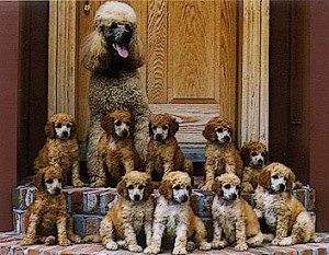 Mother poodle and 10 pups