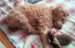 Phinn napping after victory in tussle with hedgehog