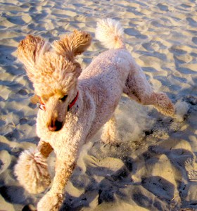 Polly running on beach with ears flapping in the breeze