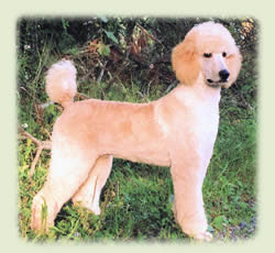 Standard-poodle-softedge