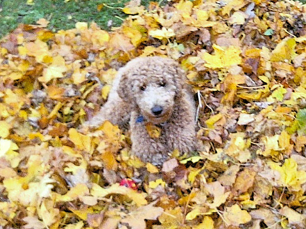 Finn in autumn leaves 2013