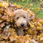 Finn in leaf pile 2013