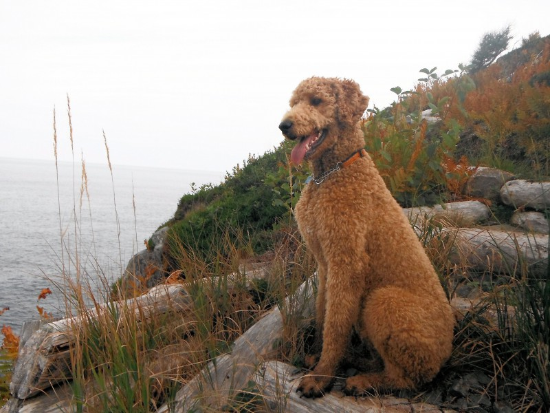 Finn on Newfoundland's East Coast Trail overlooking North Atlantic
