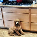 A Poodle Should Match Your Decor!