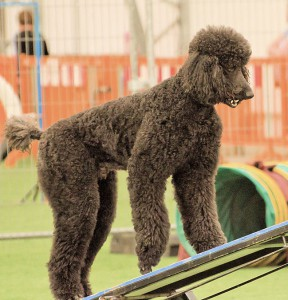 Kolli on agility ramp
