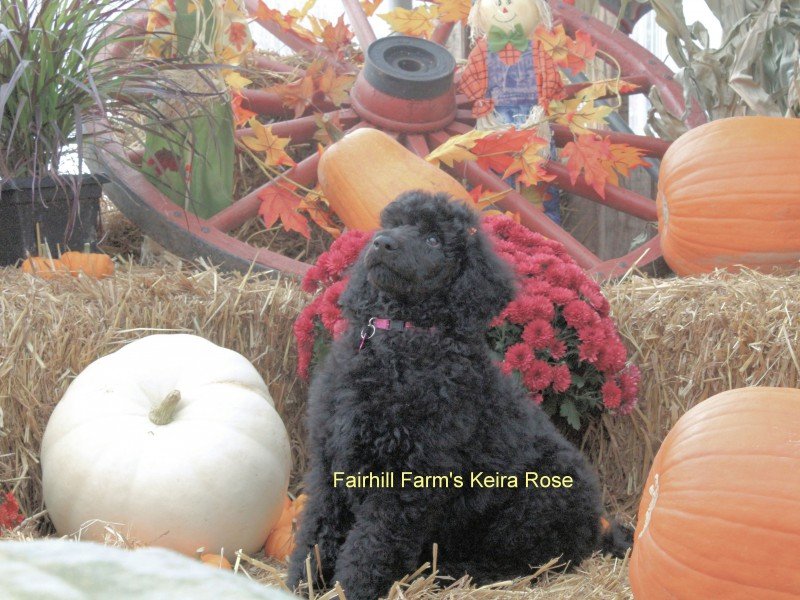 Fall Fair Keira Rose