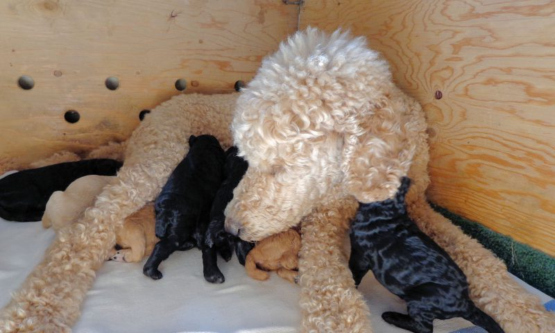Strudel & nine little puppies