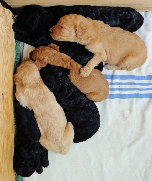 Some of Strudel's pups 2 weeks old